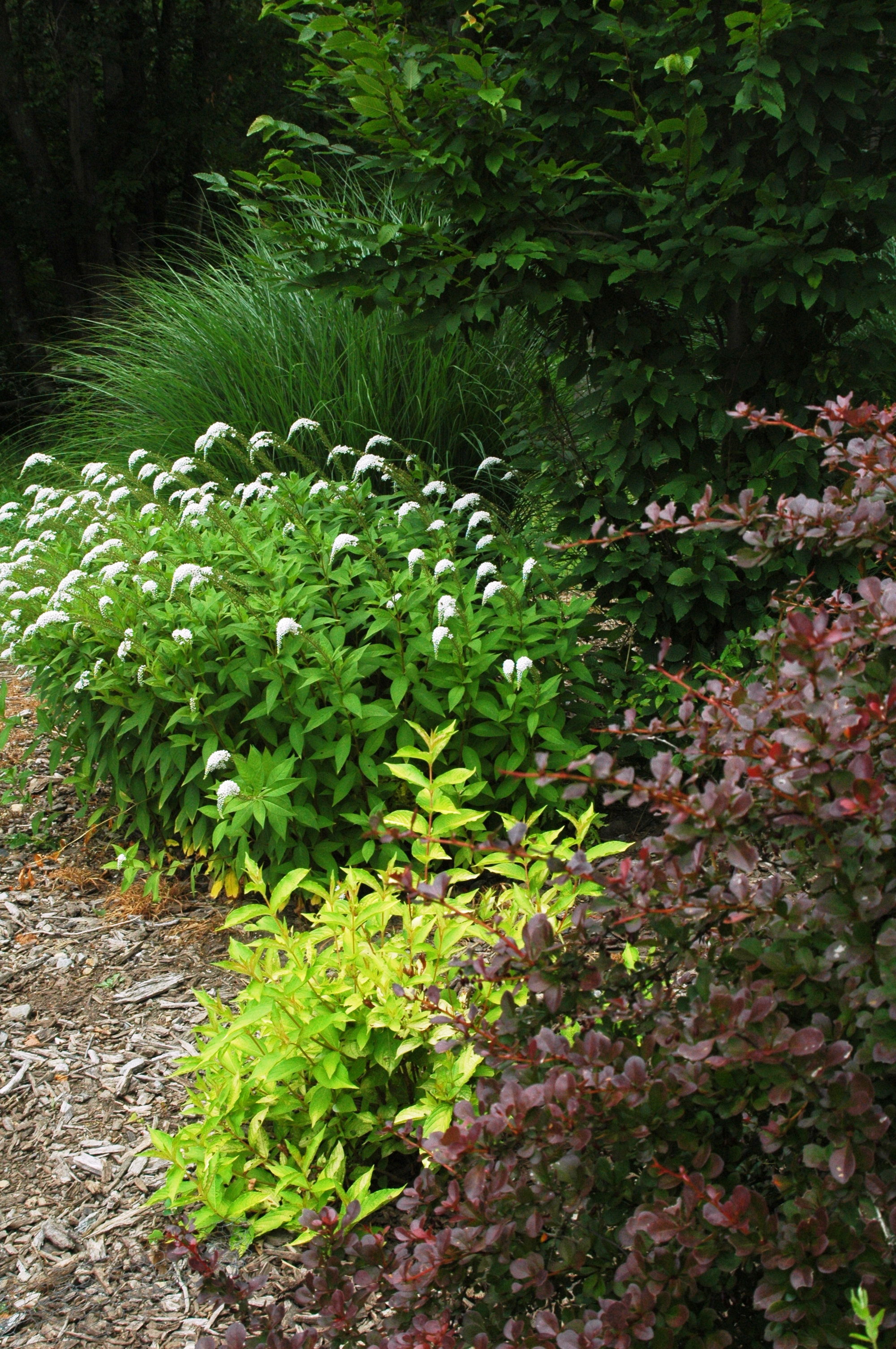 Luxurious shrub borders letters from stonewell for Shrubs for garden borders