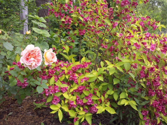Golden-leafed weigela provides a luminous, impressionistic quality to a shrub border.