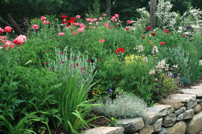 poppies in perennial border