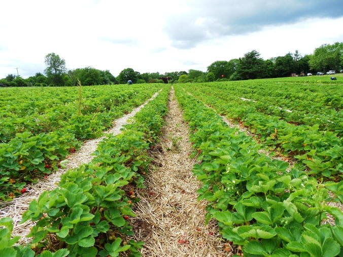 Connecticut strawberry field