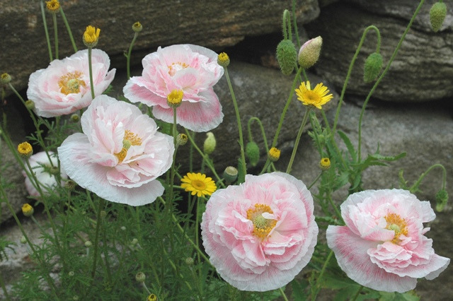 Shirley poppies and anthemis
