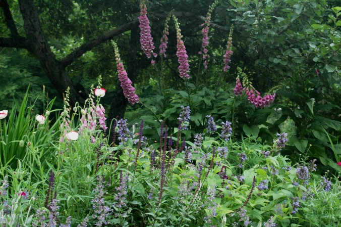 image of foxgloves behind perennials
