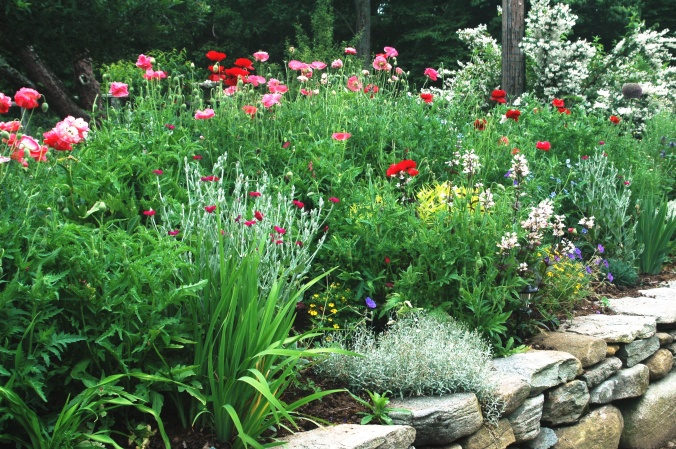 images of perennial border with annual poppies