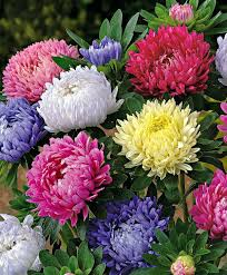 colorful china asters