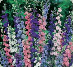 colorful larkspur
