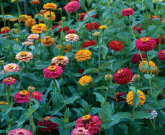 What makes you glad to be alive? Zinnias.  All the colors of the rainbow, (except blue) and with the so-called 'cactus-flowered' types as well, nothing could be simpler to grow than these horticultural twins of Prozac!